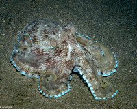 Coconut Octopus on sand
