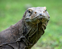 Komodo Dragon Drool