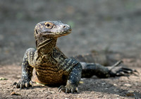 Komodo Dragon - youngster, about 3 years old