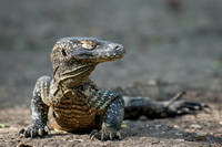 Komodo Dragon - youngster resting