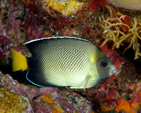 Indian Yellowtailed Butterflyfish