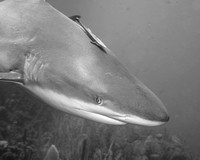 Caribbean Reef Shark with Remora